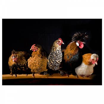 Roosting Chickens Wall Art