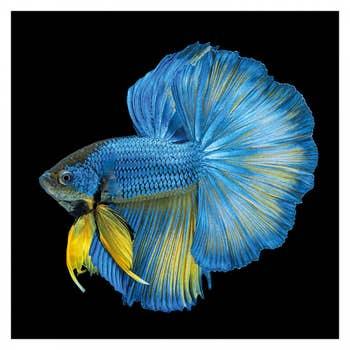 Blue Long Tail Fish Wall Art